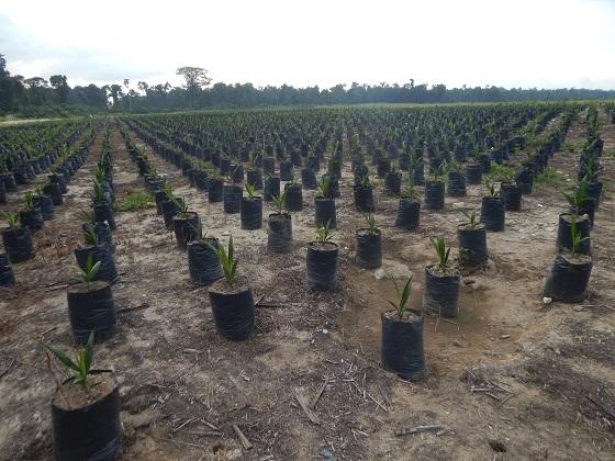 масляничная пальма молодые ростки