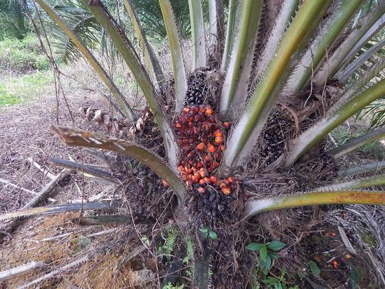 семена масляничной пальмы