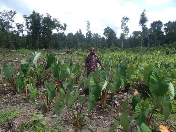 плантация таро папуа новая гвинея